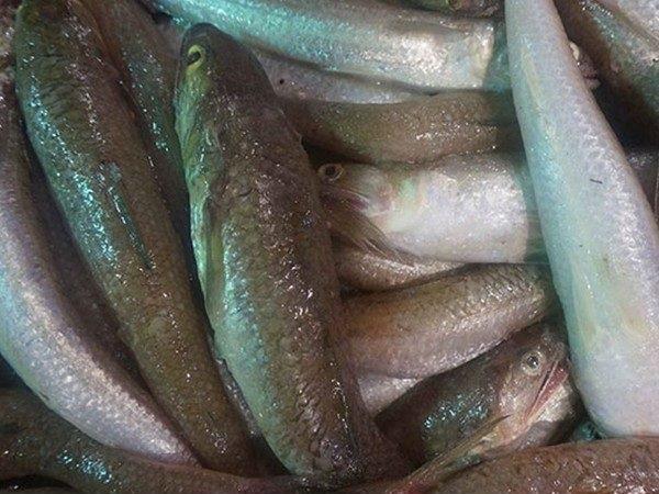 Môi trường sống của cá mối tươi