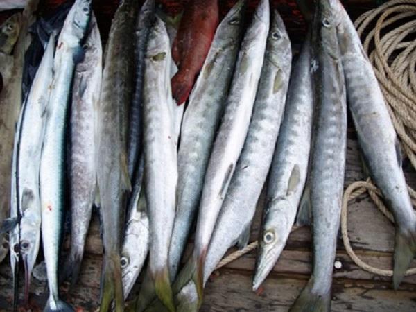 Môi trường sống của cá nhồng tươi