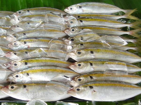 Tìm hiểu về môi trường sống của cá chỉ vàng tươi