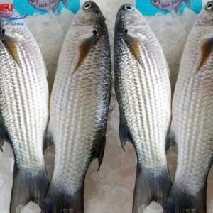 Cá Đối Tươi có vị ngọt béo rất ngon, khi ăn cảm nhận được sự dai dai