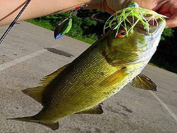 Cá vược đen bao nhiêu 1 kg?
