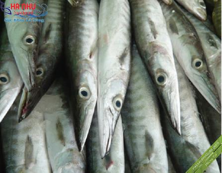 Cá Nhồng Tươi có giá trị cao cả về lĩnh vực xuất khẩu lẫn thực phẩm sạch